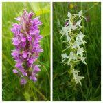 Laukinių pievų vasara: lietuviškos orchidėjos, gegužraibės